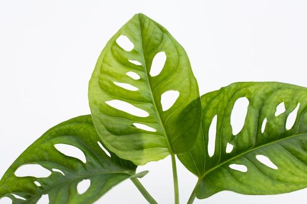 Monstera adansonii blätter oder schweizer käserei zimmerpflanze
