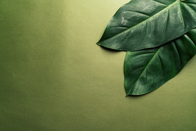 Monstera blätter auf grünem hintergrund