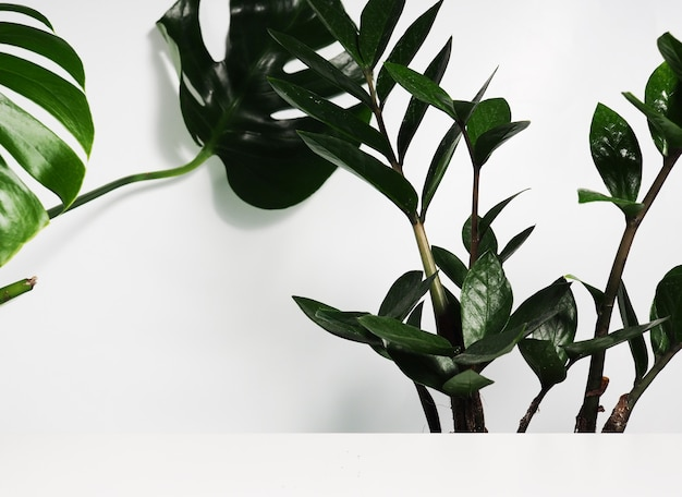 Monstera-blätter und zamioculcas als hintergrund hinter einem weißen regal, einem podium für design.