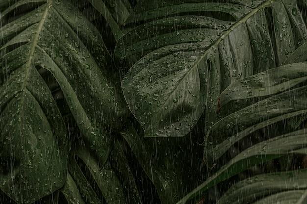 Monstera-blatt an einem regnerischen tag