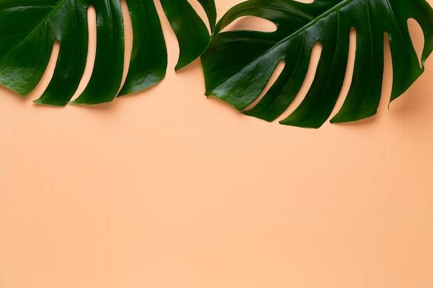 Monstera-blatt auf farbigem hintergrund. palmblatt, echte tropische dschungellaub schweizer käsepflanze. flache lage und draufsicht.