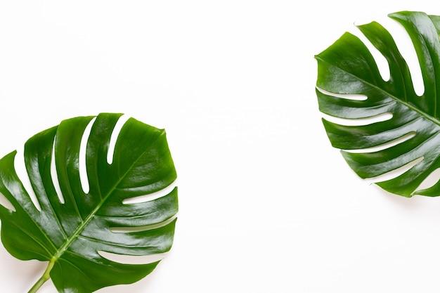 Monstera-blatt auf weißem hintergrund aus holz. palmblatt, echtes tropisches dschungellaub schweizer käsepflanze. flache lage und draufsicht.
