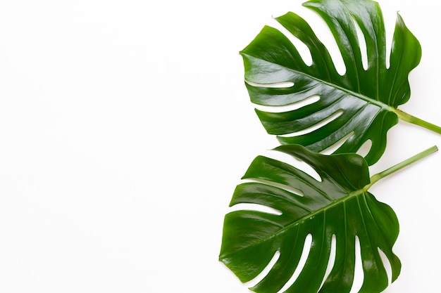 Monstera-blatt auf weißem hölzernem hintergrund. palmblatt, echte tropische dschungellaub schweizer käsepflanze. flache lage und draufsicht.