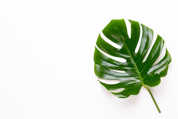 Monstera blatt auf weißem holz palmblatt, echte tropische dschungel laub schweizer käsepflanze.