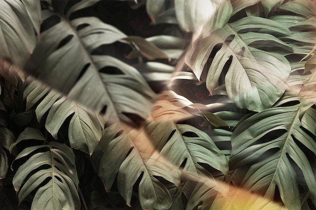 Monstera-blatt mit prismenlinseneffekt