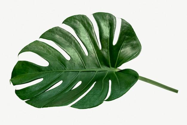 Monstera delicosa pflanzenblatt auf weißem hintergrund