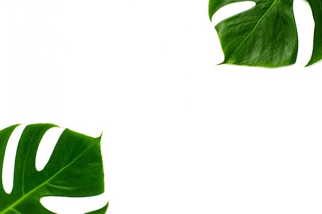 Monstera miltiple-blätter, die isoliert auf weißem hintergrund. flaches lay-design