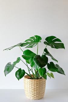 Monstera pflanze innen auf weißem wandhintergrund