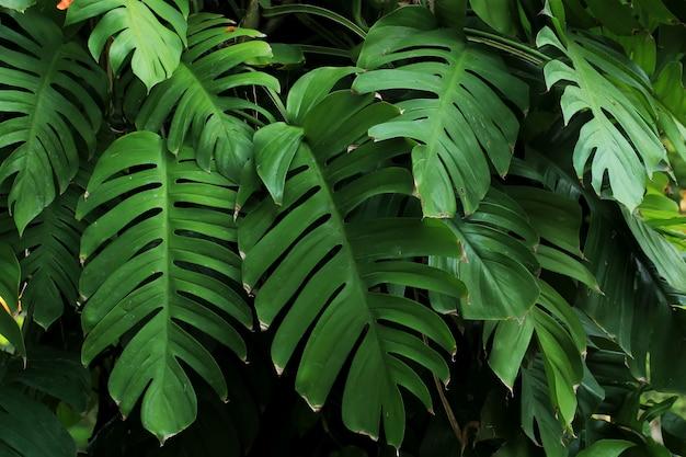 Monstera pflanzen oder blätter gedeihen in tropischen wäldern