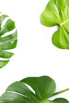 Monstera-pflanzenblätter auf weiß