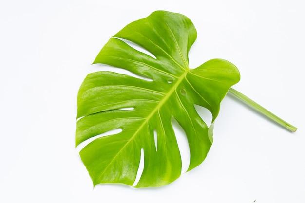 Monstera pflanzenblätter auf weiß.