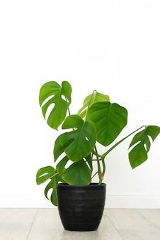 Monstera zimmerpflanze im weißen innenraum. vertikal, isoliert