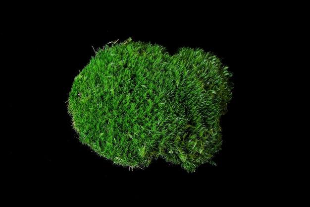Moos dicranum scoparium auf schwarzem hintergrund. dicranum scoparium, das ginster-gabelmoos, ist eine art von dicranidenmoos, die in den meisten teilen der nördlichen hemisphäre heimisch ist