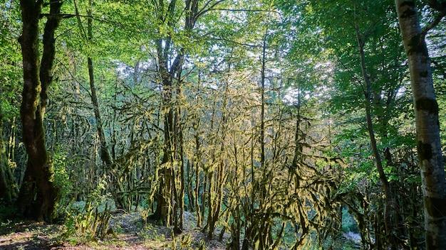 Moos im wald. sonnenlicht in den ästen der bäume