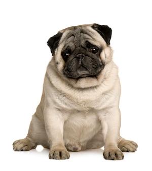 Mops, 4 jahre alt. hundeporträt isoliert