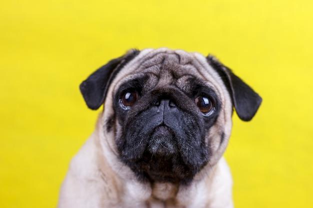 Mops hund mit traurigen großen augen sitzt