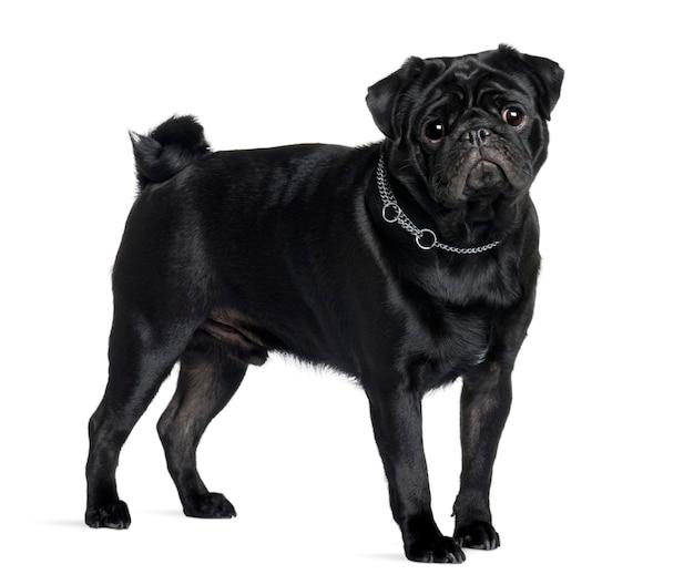 Mops mit 1 jahr alt. hundeporträt isoliert