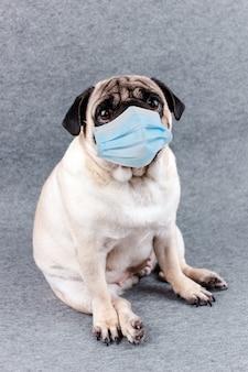 Mops mit medizinischer maske und traurigen großen augen. quarantäne und isolierung während des coronavirus