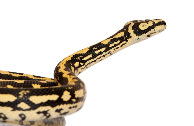 Morelia spilota variegata, eine unterart der python,