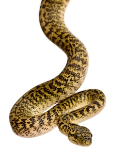 Morelia spilota variegata ist eine unterart der python