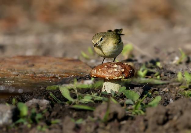 Morgendlicher zilpzalp (phylloscopus collybita) nahaufnahme auf buschzweigen im natürlichen lebensraum im weichen morgenlicht. vogel im winterkleid