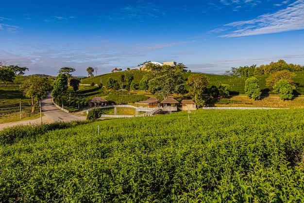 Morgenlicht in choui fong green tea plantation eine der schönen landwirtschaftlichen tourismusstellen in mae chan district