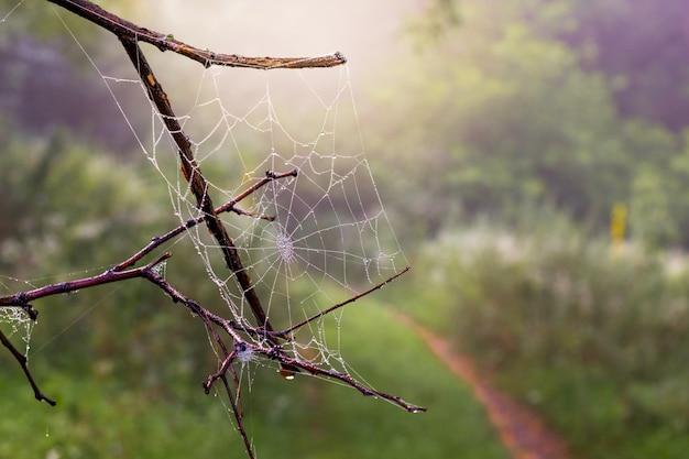 Morgens trockener zweig mit feuchtem spinnennetz im wald