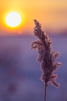 Morgensonnenaufgang mit einem schilfzweig