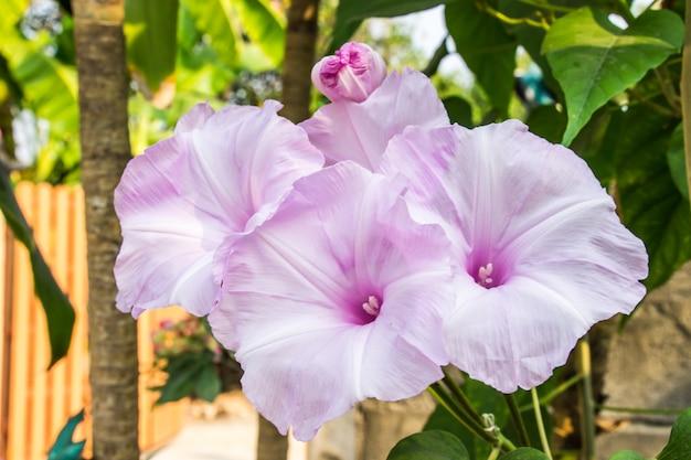 Morning glory tree oder ipomoea carnea schöne weiße und rosa blumen hell
