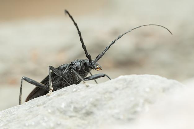 Moschuskäfer (aromia moschata) sitzt auf einem felsen