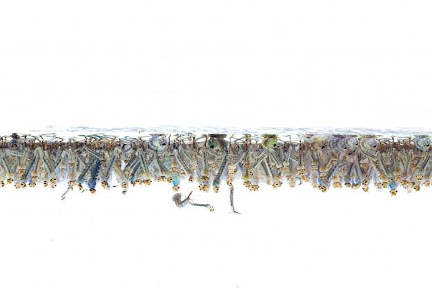 Moskitolarven im wasser auf weißem hintergrund.