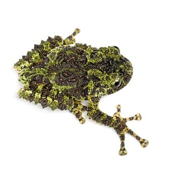 Mossy frog, theloderma corticale, auch bekannt als vietnamesischer mossy frog oder tonkin bug-eyed frog, gegen weiße oberfläche