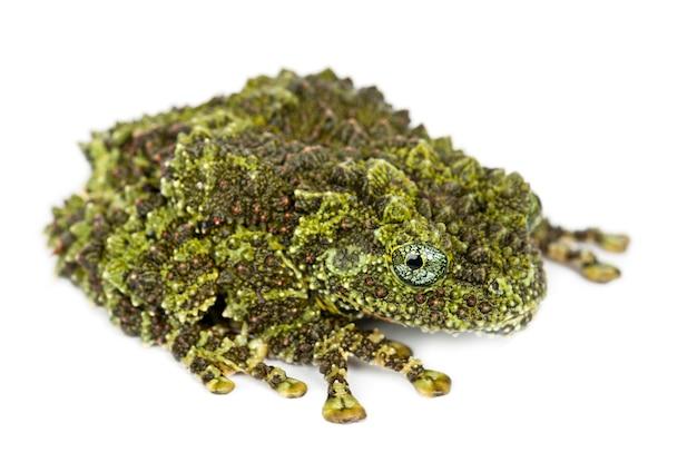 Mossy frog, theloderma corticale, auch bekannt als vietnamesischer mossy frog oder tonkin bug-eyed frog, porträt gegen weiße oberfläche