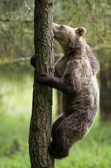Motivierter braunbär, der einen baum im sommerwald klettert