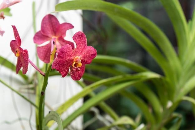 Motte dendrobium orchideenblüten