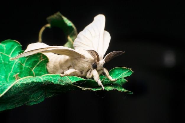 Motte schmetterling