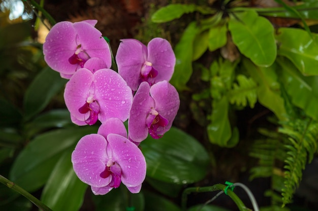 Motten-orchidee im garten.