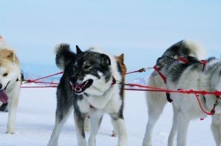 Mountain fahrt mit hundeschlitten, husky