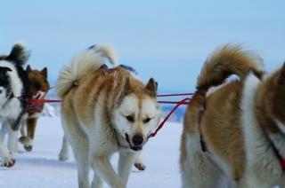 Mountain fahrt mit schlittenhunden, reiten, schnee