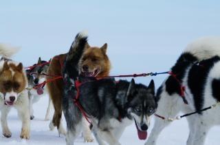 Mountain fahrt mit schlittenhunden, winter