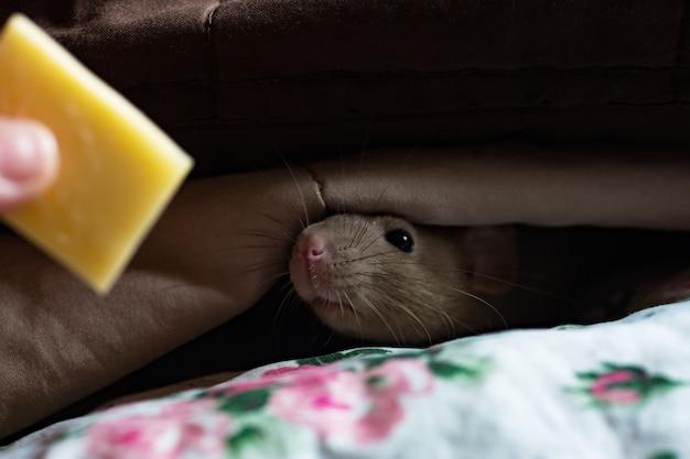 Mouse streckt die nase unter den nach käse riechenden decken hervor