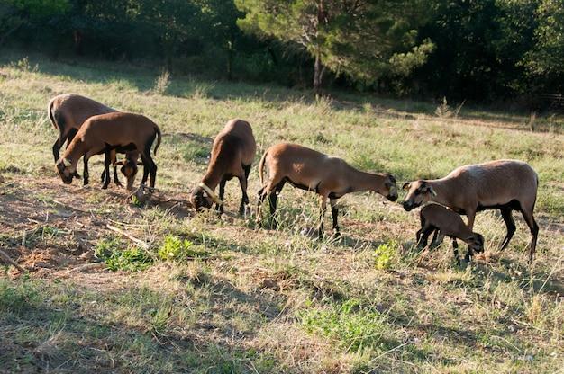 Mouton flock chocolare domestiziert ovis braun