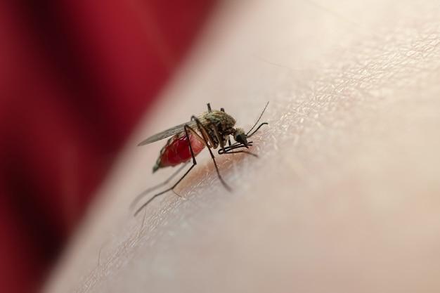 Mücke frisst blut auf der menschlichen haut