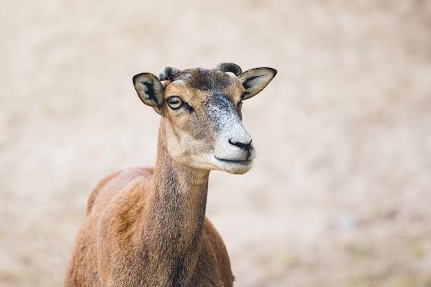 Mufflon auf unscharfem hintergrund wilde tiere in der natur