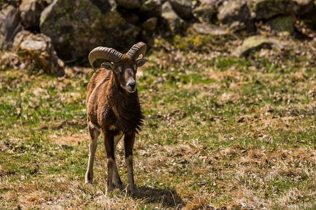 Mufflon im frühjahr in capcir, pyrenäen, frankreich