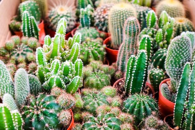 Multi des kaktus auf schmutztopf setzte an terrarium zum dekor und zum innenraum