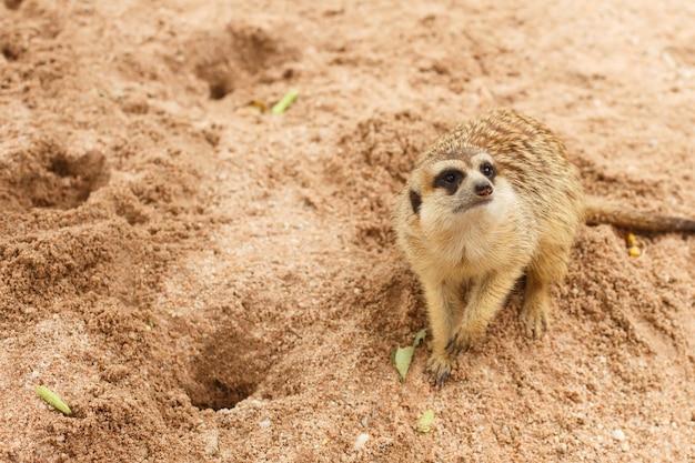 Mungo räuberisches erdmännchen sitzt im sand und schaut weg