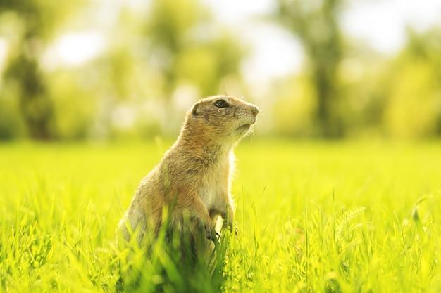 Murmeltier im gras. gopher-porträt in der sonnigen wiese.