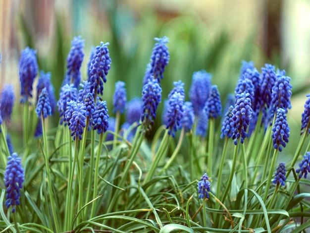 Muscari armeniacum pflanze mit blauen blüten.