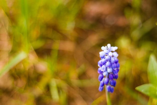 Muscari blumenmakro und nahaufnahme, blüte, blau und lila farbe blumenkopf im feld